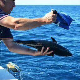 los ejemplares pequeños son devueltos con vida de nuevo a el mar